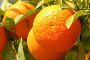 640px-orange_frucht_fruit_cyprus_pict8063