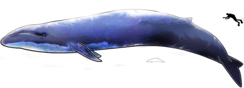 Image:Blue Whale and Hector Dolphine.png