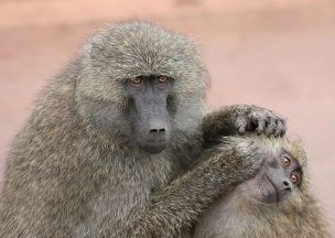 640px-grooming_monkeys_plw_edit