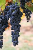 318px-Wine_grapes03