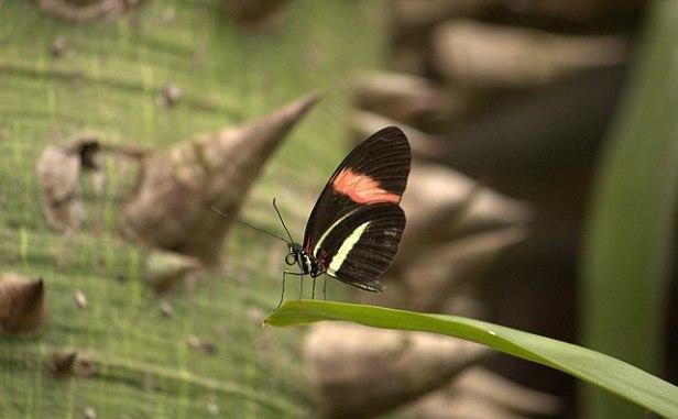 640px-Heliconius_erato_(Florida_Museum_of_Natural_History)_58