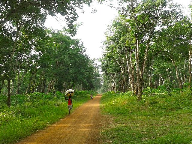 640px-Rubber_Tree_Plantation_in_Margibi_County,_Liberia