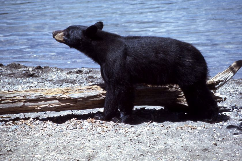 1200px-Yellowstone-black-bear-07895