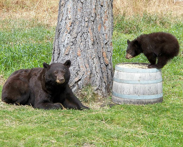600px-Black-bear_with_her_cub