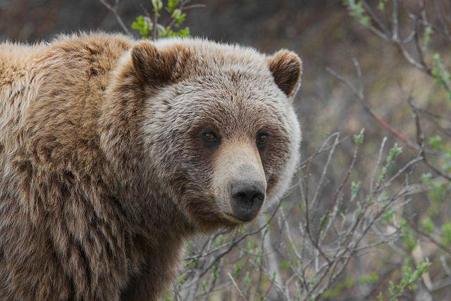 640px-Grizzly_Bear_(Ursus_arctos_ssp.)