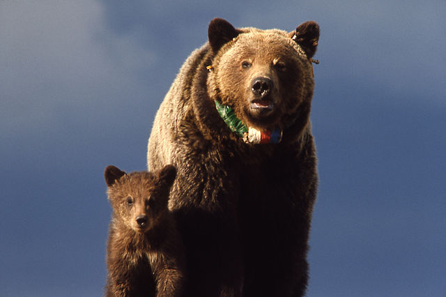 640px-Yellowstone-grizzly-00156